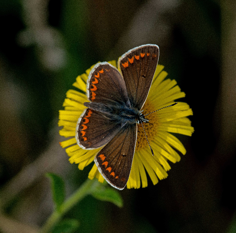 Brown Argus, Dave Hill.