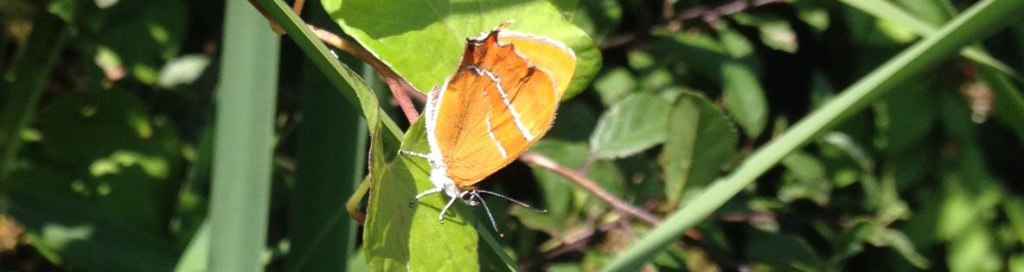 Brown Hairstreak, Tom Simon.