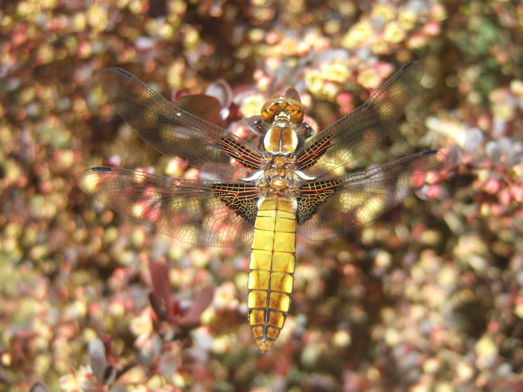 Broad-bodied Chaser, female.