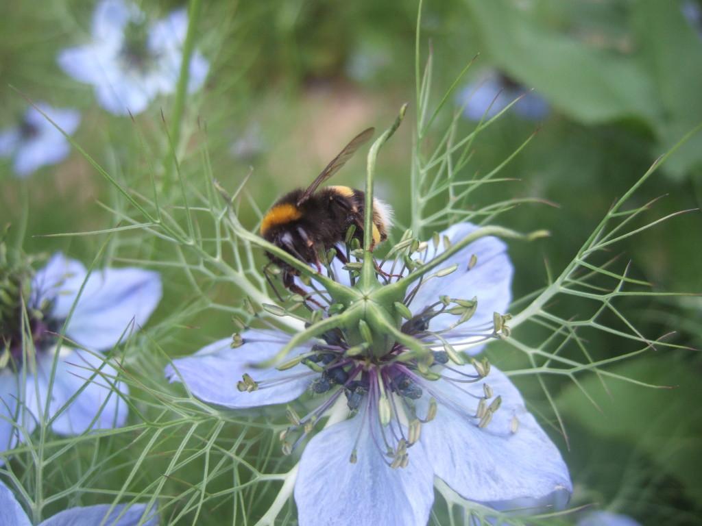 White-tailed Bumble Bee (Bombus locorum)