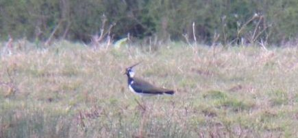 Lapwing trimmed