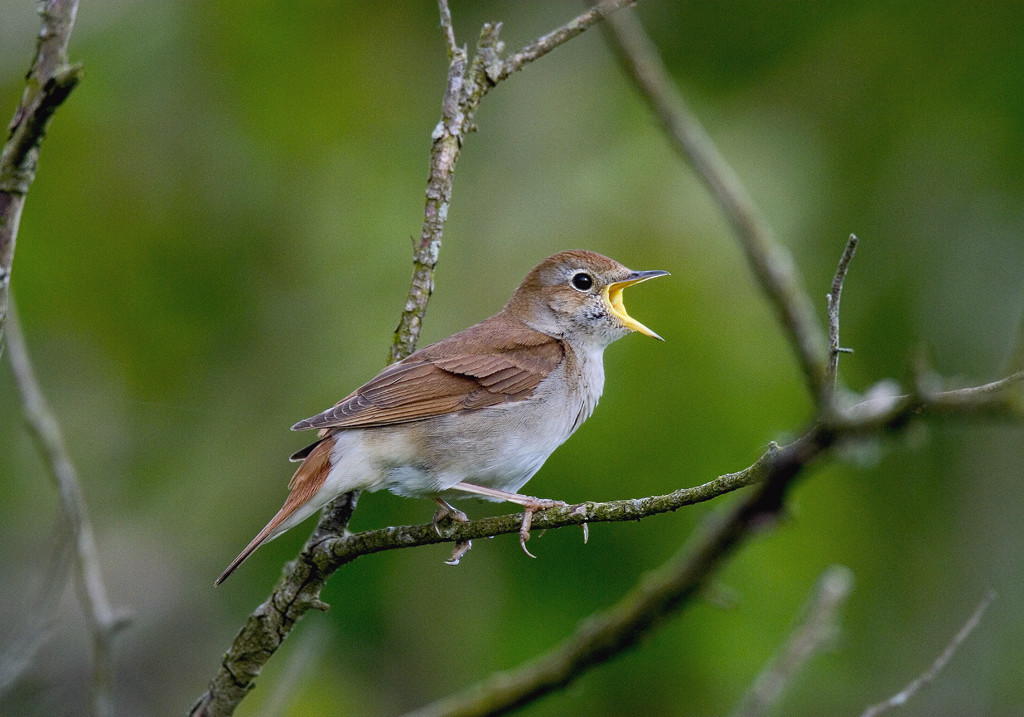 Nightingale in full song. Photographed at Pulborough Brooks (RSPB Reserve) April 2004