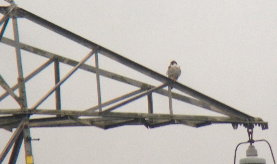 Peregrine perched on a pylon looking over Twineham Place Farm