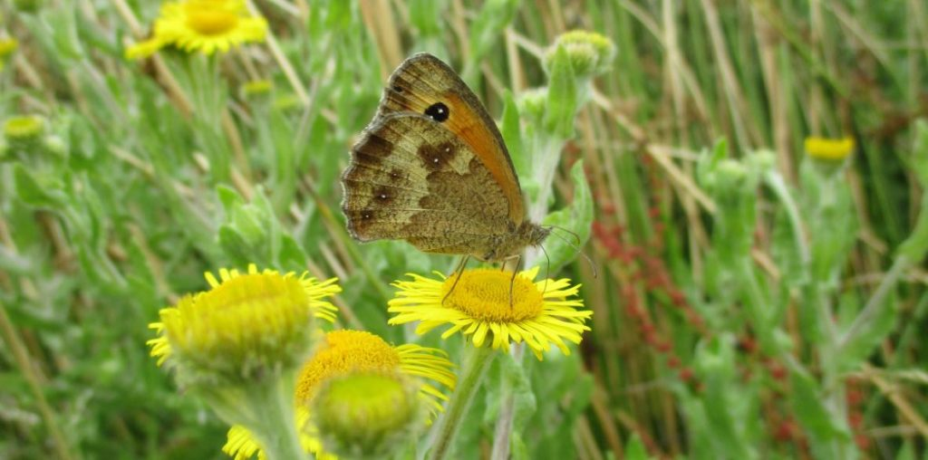 Gatekeeper on Common Fleabane.