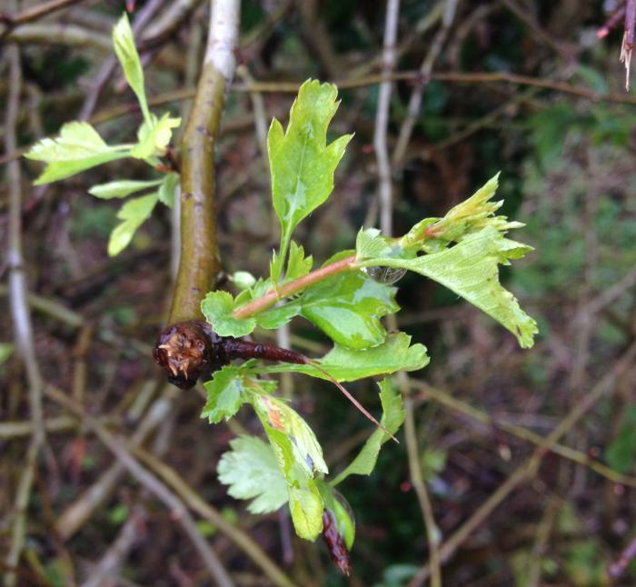 Hawthorn coming into leaf