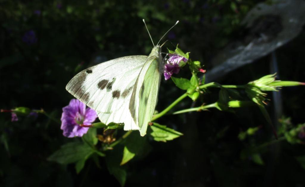 Large White.