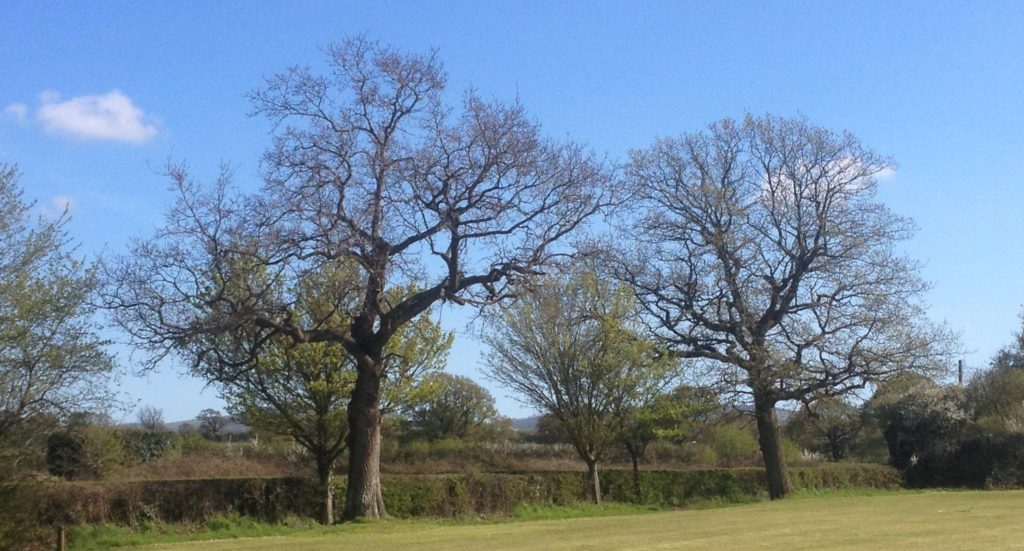 Twineham Recreaction Ground Oak Trees